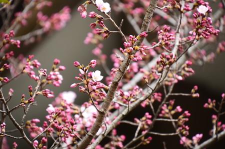 車折神社の桜 4
