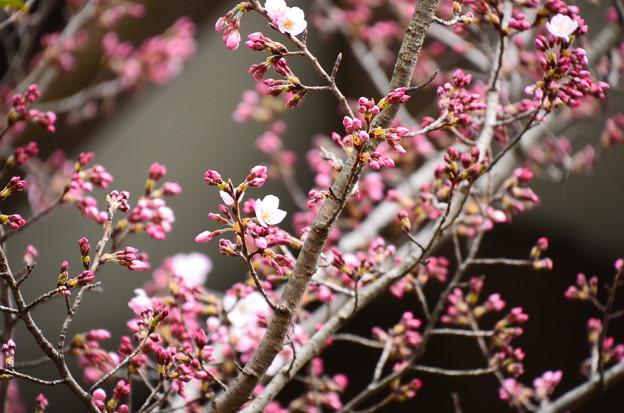 写真: 車折神社の桜 4