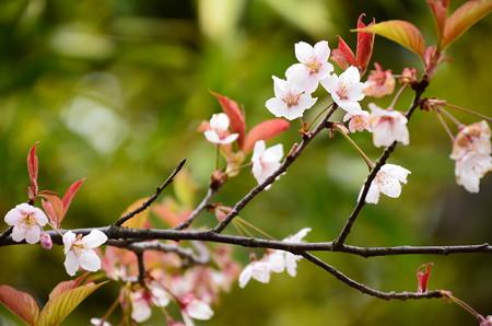車折神社の桜 3