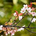 写真: 車折神社の桜 3
