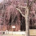 写真: 立本寺の枝垂れ桜(シダレザクラ)