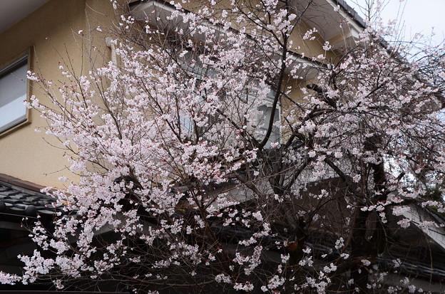 写真: 天理教健徳教会の桜