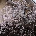 天理教健徳教会の桜