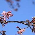 写真: 咲き始めた染井吉野