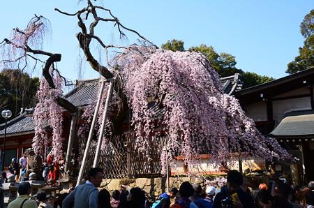 桜も人も満開~~~