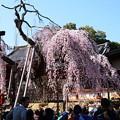写真: 桜も人も満開~~~