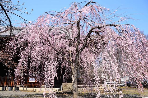 写真: 立本寺の枝垂れ桜
