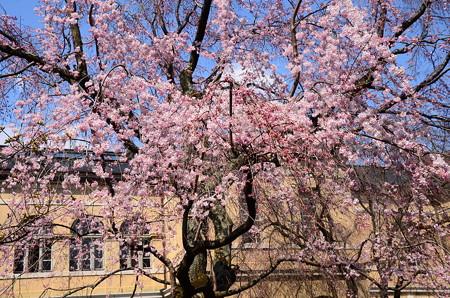 府庁旧館の枝垂れ桜