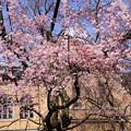 写真: 府庁旧館の枝垂れ桜