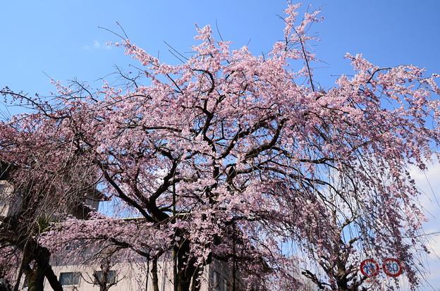 写真: 有栖川宮旧邸の枝垂れ桜