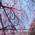 写真: 水火天満宮の紅枝垂れ