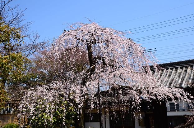 写真: 上品蓮台寺の枝垂れ桜