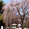 写真: 阿亀桜