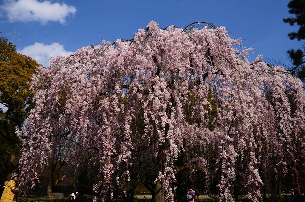 写真: 出水の糸桜(イトザクラ)