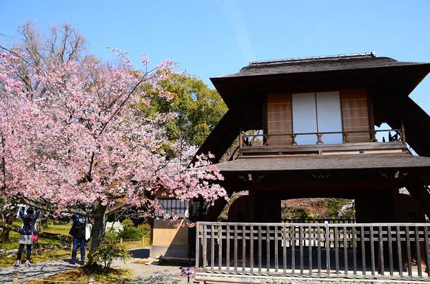 写真: 傍花閣と修善寺寒桜(シュゼンジカンザクラ)