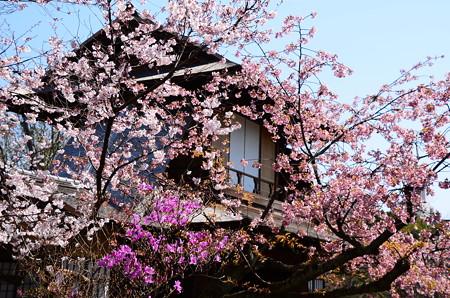 枳殻邸の春