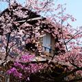 写真: 枳殻邸の春