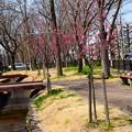 写真: 紫明せせらぎ第四公園の寒緋桜(カンヒザクラ)