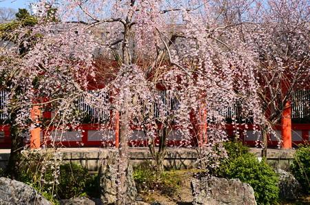 三十三間堂の枝垂れ桜