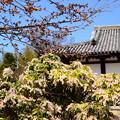 写真: 馬酔木咲く新薬師寺