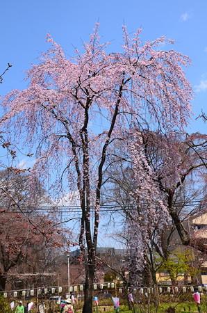 桜園の枝垂れ桜(シダレザクラ)