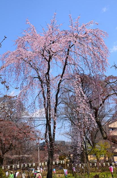 写真: 桜園の枝垂れ桜(シダレザクラ)