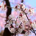 写真: 雪山桜(ユキヤマザクラ)