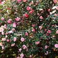 写真: 五色八重散り椿(ゴシキヤエチリツバキ)