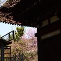 写真: 千本釈迦堂の紅梅