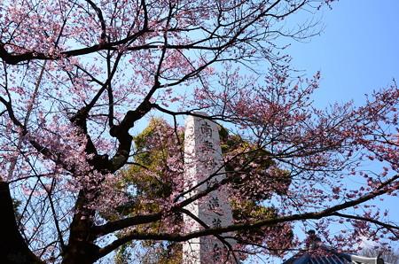 宥清寺の早咲き桜