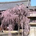写真: 枝垂れ桜満開の立本寺