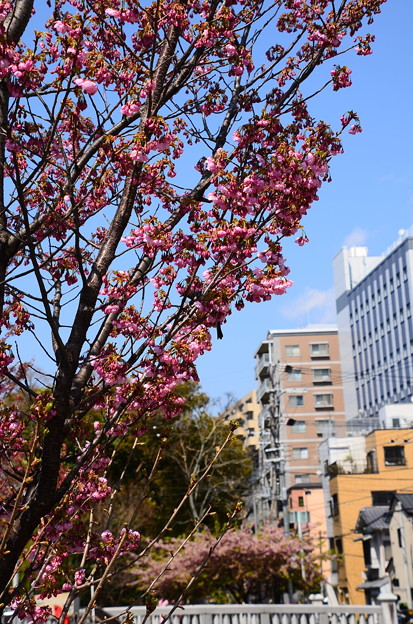 写真: 堀川脇の陽光(ヨウコウ)