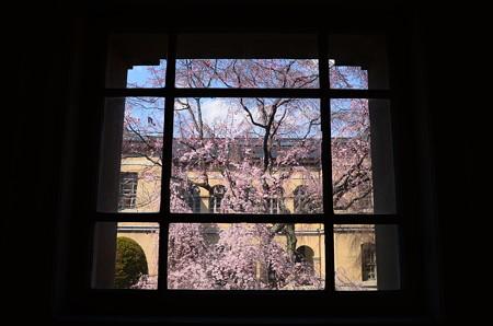 窓桜~~~