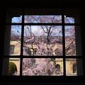 写真: 窓桜~~~