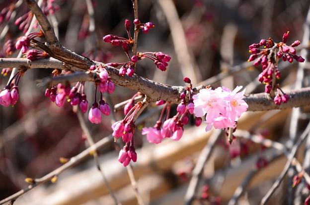 写真: 八重紅枝垂れも咲き始め~