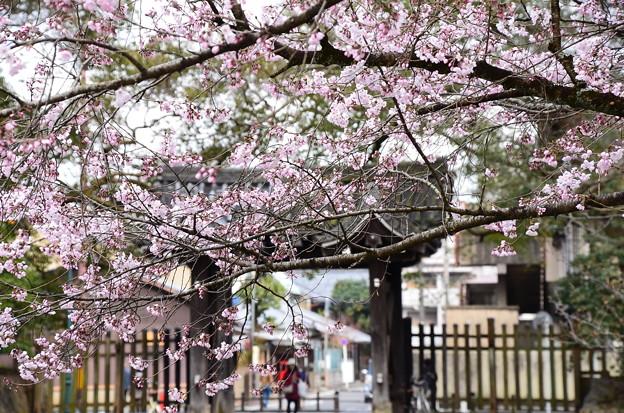 写真: 石薬師門脇の江戸彼岸(エドヒガン)