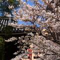 写真: 染井吉野も5分咲きに~