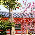 写真: 三十三間堂の桃と椿
