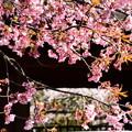 写真: 修善寺寒桜(シュゼンジカンザクラ)