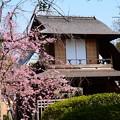 写真: 傍花閣と紅枝垂れ(ベニシダレ)