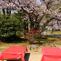 写真: ボケと山桜(ヤマザクラ)