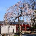 写真: 三十三間堂の枝垂れ桜(シダレザクラ)