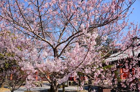 薬師桜の子桜