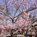 写真: 薬師桜の子桜