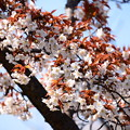 写真: 山桜(ヤマザクラ)