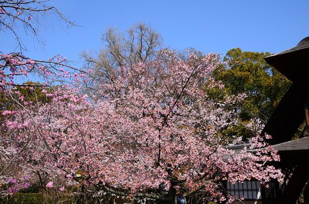 写真: 傍花閣脇の修善寺寒桜(シュゼンジカンザクラ)
