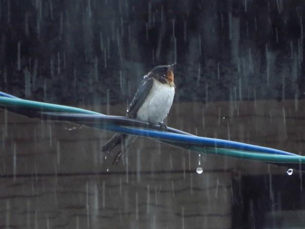 Photos: ツバメ雨浴び_5161