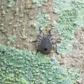 キマダラカメムシ幼虫_5412