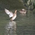 コガモ水浴び_0375