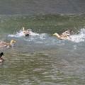 マガモ達水浴び_0351